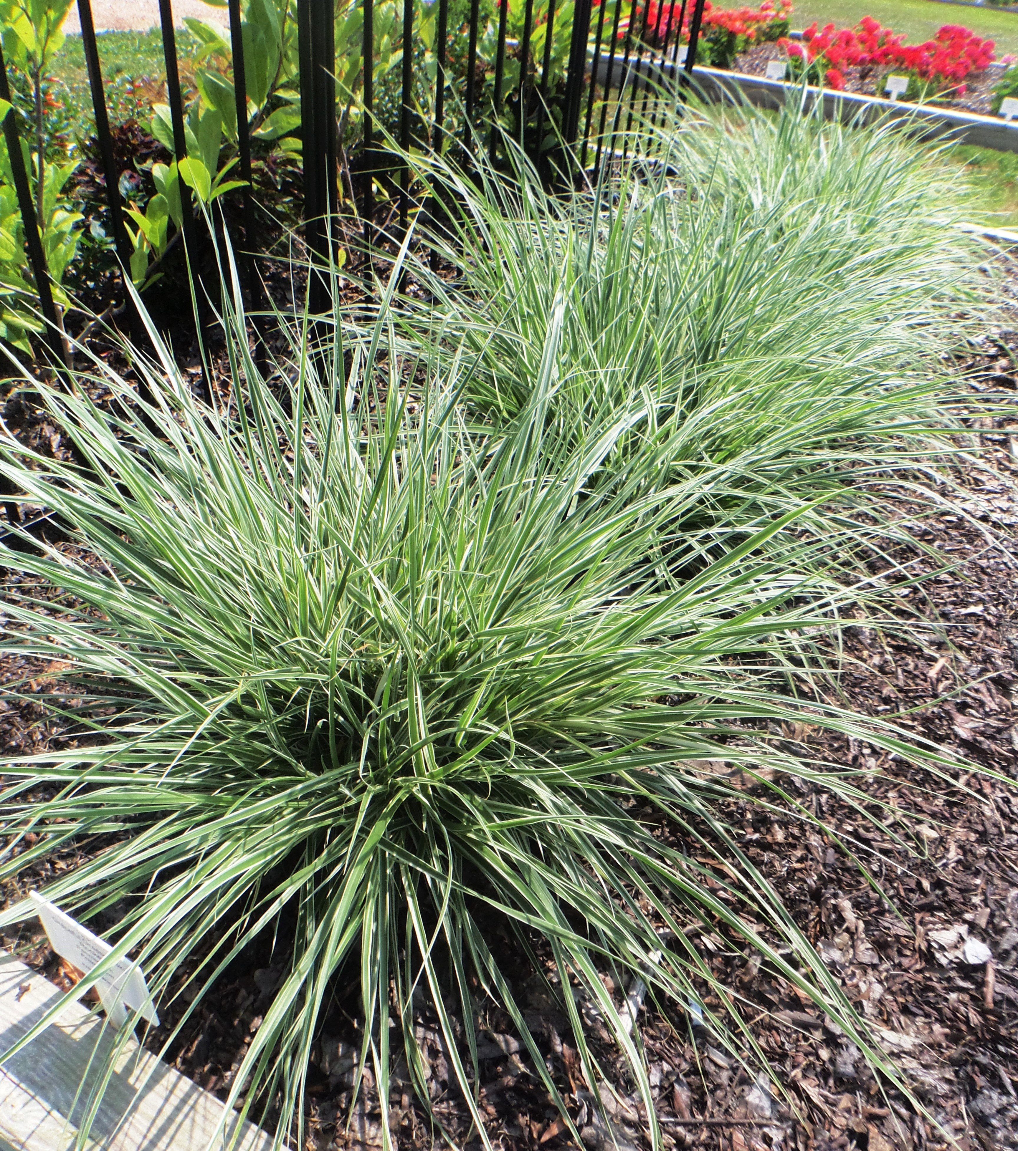 Variegated fountain sky rocket grasses johnson nursery for Variegated grass plant