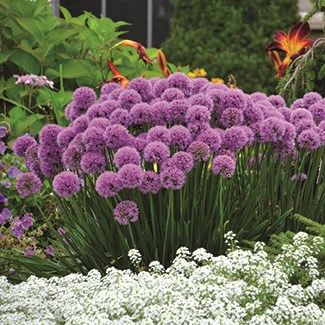 /Images/johnsonnursery/product-images/Allium Millenium2_web_ti1l0hkb2.jpg