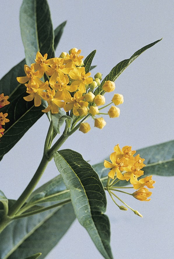 /Images/johnsonnursery/product-images/Asclepias_Silky_Gold_Bloom_8402_exgsz8suc.jpg