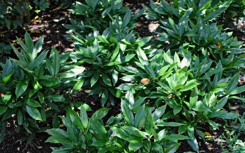 /Images/johnsonnursery/product-images/Aucuba-Dwarf-Green-Nana_34untimcw.jpg