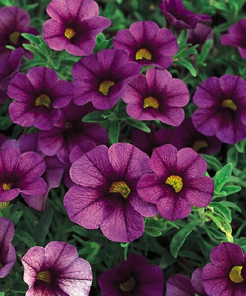 /Images/johnsonnursery/product-images/Calibrachoa Plum_in2wgibzl.jpg