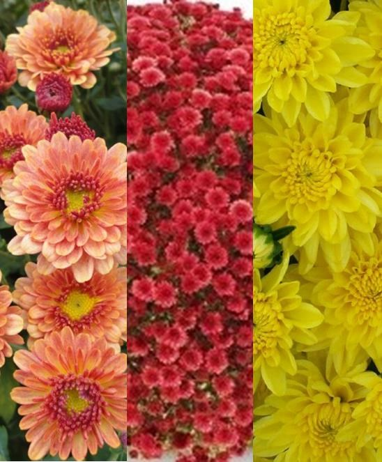 /Images/johnsonnursery/product-images/Chrysanthemum Staviski Mix_uo57ie476.jpg