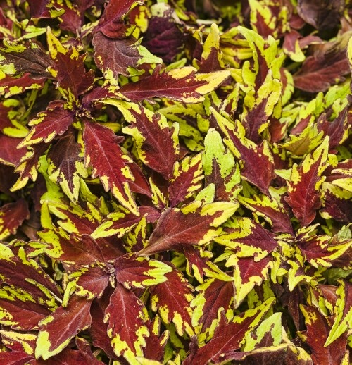 /Images/johnsonnursery/product-images/Coleus ColorBlaze Apple Brandy_td7iujwqh.jpg