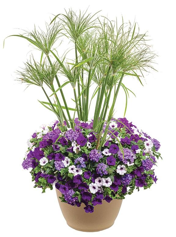 /Images/johnsonnursery/product-images/Lilac-Festival-with-Prince-Tut-2-website_vzpmaixcv.jpg
