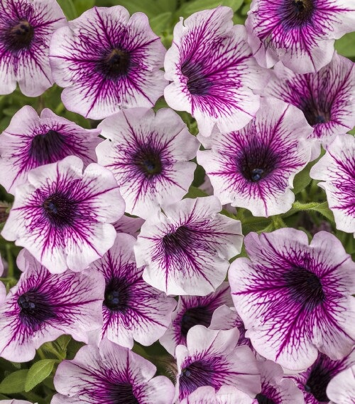 /Images/johnsonnursery/product-images/Petunia Supertunia Mulberry Charm_owl4ikp2g.jpg