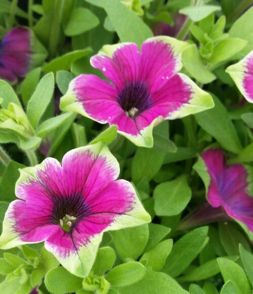 /Images/johnsonnursery/product-images/Petunia Supertunia Picasso in Purple_w5ffh12n0.jpg