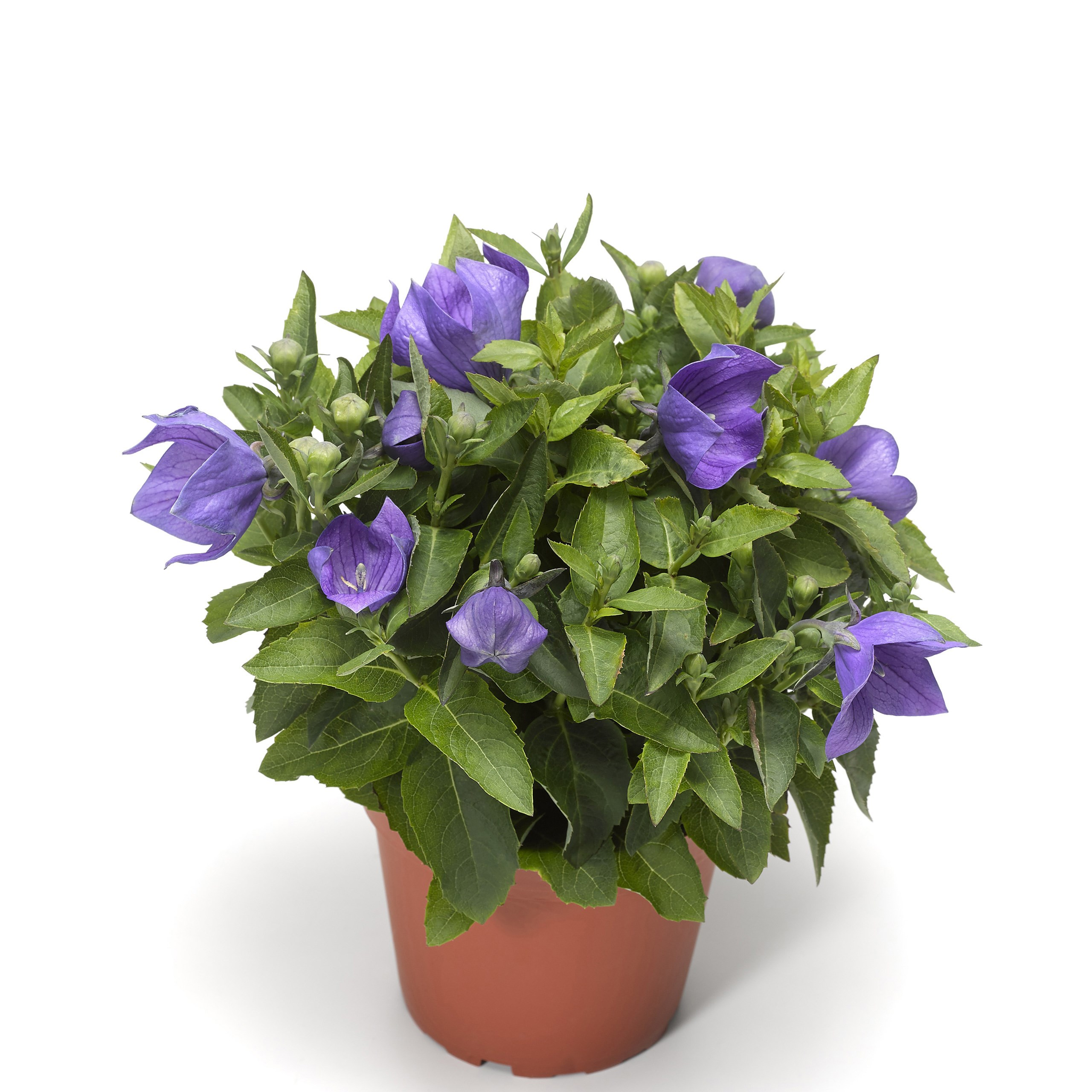 /Images/johnsonnursery/product-images/Platycodon Twinkle Blue pot_ji5ctk6nq.jpg