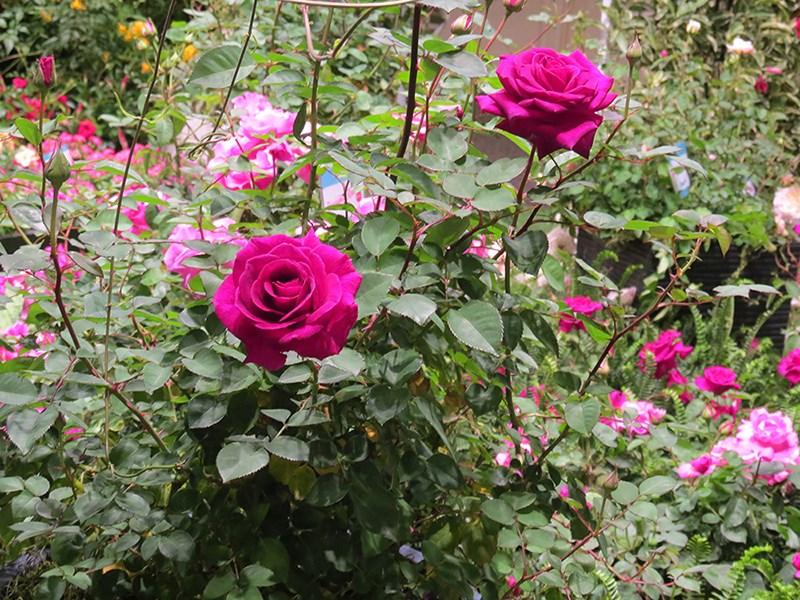 /Images/johnsonnursery/product-images/Rose-Brindabella-Purple-Prince-302-website_kjk2ct0xe.jpg