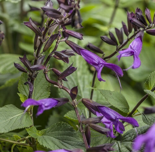 /Images/johnsonnursery/product-images/Salvia Rockin Deep Purple_xiqjkn1a7.jpg