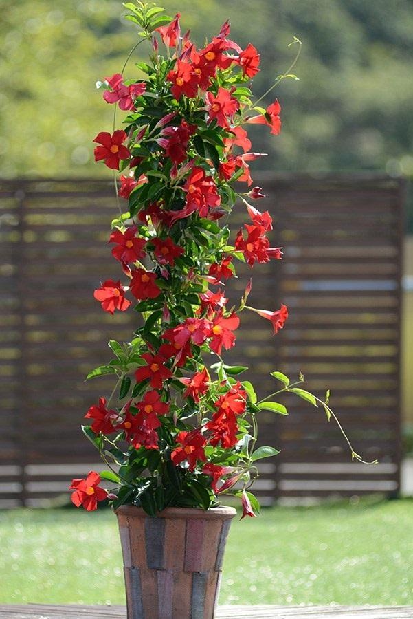 /Images/johnsonnursery/product-images/Sundenia-Crimson-full-plant_pt91c38ki.jpg