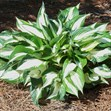 /Images/johnsonnursery/product-images/Hosta Fire and Ice060607_5b93qrssi.jpg