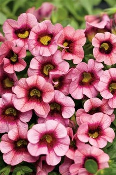 /Images/johnsonnursery/Products/Annuals/CBH_superbells_Strawberry_Punch_-_PW.jpg