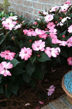 /Images/johnsonnursery/Products/Annuals/I__Sunpatiens_Blush_Pink_Castle_Hayne_NC__5-18-12_030.JPG