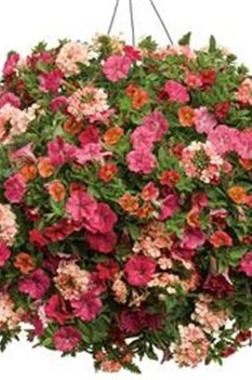 /Images/johnsonnursery/Products/Annuals/Southern_Hospitality.jpg