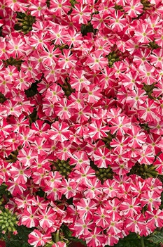 /Images/johnsonnursery/Products/Annuals/VBN_Superbena_Royale_Cherryburst_-_PW.jpg