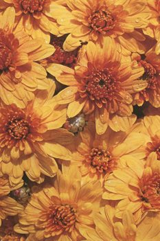 /Images/johnsonnursery/Products/NewFolder/Chrysanthemum_Cento_for_web_091702.jpg