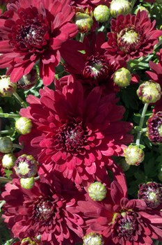 /Images/johnsonnursery/Products/NewFolder/Chrysanthemum_Savona_for_web_100111.jpg