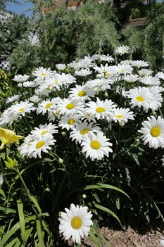 /Images/johnsonnursery/Products/Perennials/Leucanthemum_Daisy_May.jpg