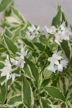 /Images/johnsonnursery/Products/Woodies/Deutzia_Mincream_-_PW.jpg