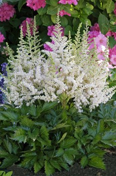 /Images/johnsonnursery/product-images/9044-1_Astilbe_chin_Vision_in_White-.jpg_brw9d624w.jpg