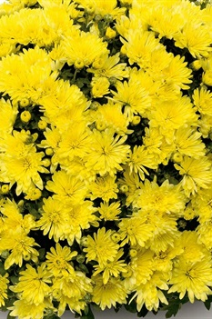 /Images/johnsonnursery/product-images/Aluga_yellow_j9b3fbtjx.jpg