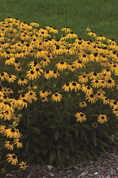 /Images/johnsonnursery/product-images/American Gold Rush_sxxib1c9o.jpg