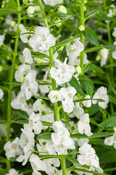 /Images/johnsonnursery/product-images/Angelonia Angelface Super White_ozx4n14te.jpg