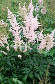 /Images/johnsonnursery/product-images/Astilbe Peach Blossom051501_fn3ir2awn.jpg