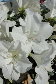 /Images/johnsonnursery/product-images/Azalea Bloom A Thon White4091813_93u0fk2qv.jpg