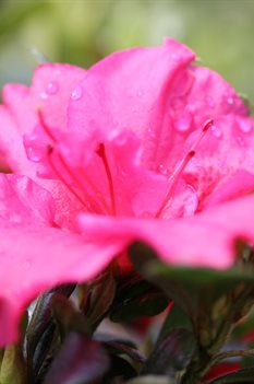 /Images/johnsonnursery/product-images/Azalea Bloom a Thon Hot Pink 2_vxeapb42n.jpg