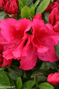 /Images/johnsonnursery/product-images/Azalea Bloom a Thon Red_ud9tp518h.jpg