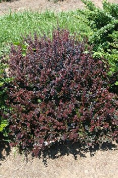 /Images/johnsonnursery/product-images/Berberis Sunjoy Mini Maroon_vrgdpeitj.jpg