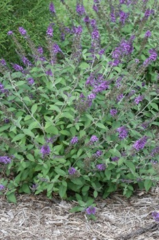 /Images/johnsonnursery/product-images/Buddleia Blue Chip JR_owodczmaq.jpg