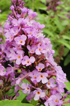/Images/johnsonnursery/product-images/Buddleia Flutterby Petite Tutti Frutti Pink4071013_2tfvws9ne.jpg