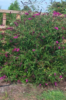 /Images/johnsonnursery/product-images/Buddleia Royal Red070901_9lcxd5tna.jpg