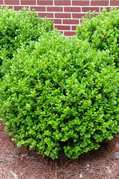 /Images/johnsonnursery/product-images/Buxus Winter Gem043016_ib0gzbcrq.jpg