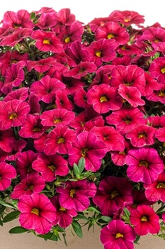 /Images/johnsonnursery/product-images/CBH Superbells Cherry Red Improved - PW_g8ijt3o7o.jpg