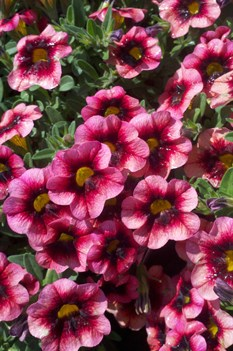 /Images/johnsonnursery/product-images/Calibrachoa Coralberry Punch041012_akt5soecp.jpg