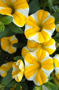 /Images/johnsonnursery/product-images/Calibrachoa Lemon Slice2061412_tw73l5lwg.jpg