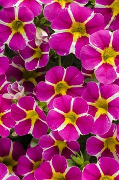 /Images/johnsonnursery/product-images/Calibrachoa Superbells Rising Star_er91vzbac.jpg