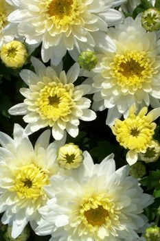 /Images/johnsonnursery/product-images/Chrysanthemum Aluga White_nalvmxmqd.jpg