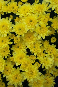/Images/johnsonnursery/product-images/Chrysanthemum Cesaro100903_1kp688s37.jpg
