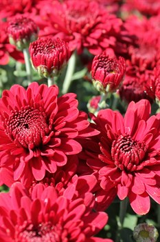 /Images/johnsonnursery/product-images/Chrysanthemum Lava Red_1xvlhj5ps.jpg