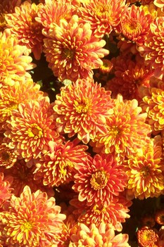 /Images/johnsonnursery/product-images/Chrysanthemum OrangePadre101503_bo1tsman9.jpg