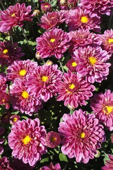 /Images/johnsonnursery/product-images/Chrysanthemum Padre Cerice2100213_s1ht9hsuw.jpg