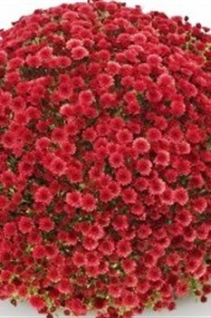 /Images/johnsonnursery/product-images/Chrysanthemum Staviski Red - GroLink_c6uwz6jo7.jpg