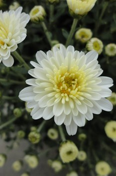/Images/johnsonnursery/product-images/Chrysanthemum Staviski White101613_v0lw8vdt3.jpg