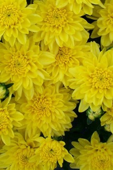 /Images/johnsonnursery/product-images/Chrysanthemum Staviski Yellow_pmpwqkhsk.jpg