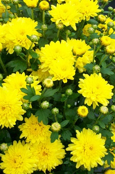 /Images/johnsonnursery/product-images/Chrysanthemum Yellow Padre2092404_7z750thot.jpg