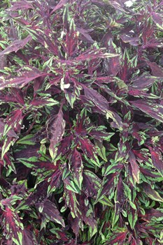 /Images/johnsonnursery/product-images/Coleus Flamethrower Chili Pepper3_unnktbuqv.jpg